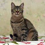 Charma den randiga katten fotografering för bildbyråer
