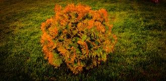 Charma gräsplan med den orange färga busken med gräsbakgrund! royaltyfria bilder