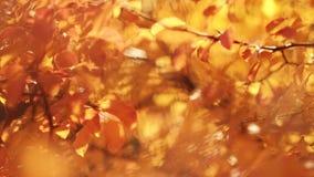 Charma nedgångsäsong för att göra suddig gula trädsidor stock video