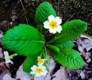 Charma vårblomman i bergen! fotografering för bildbyråer