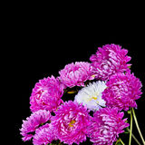 Charmant boeket van roze asters Royalty-vrije Stock Foto's