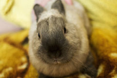 Charmant grijs konijn op deken Stock Foto