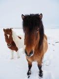Charmante bruine Ijslandse paarden op sneeuwgebied, de wintertijd Stock Afbeeldingen