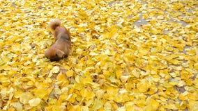 Charmante hond van rassenpekinees stock videobeelden