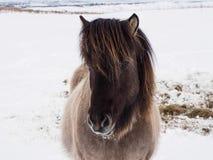 Charmante Ijslandse paarden op sneeuwgebied, de wintertijd Stock Foto's