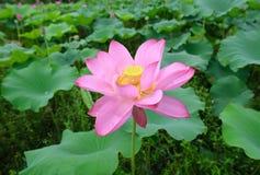 Charmante lotusbloembloei in vijver Royalty-vrije Stock Afbeeldingen