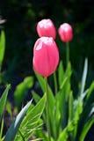 Charmante struiken met tulpen stock foto's