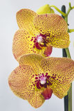 """Charmer orchid flowers. Bright """"Charmer"""" orchid flowers yellow and spotted Stock Photography"""