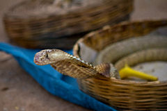 The charmer's pet. A cobra belonging to an Indian snake charmer Royalty Free Stock Photography