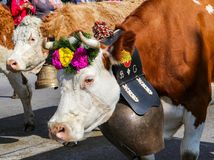 CHARMEY, SWITZERLAND - SEPTEMBER 29, 2018: cows decorated with flowers and big bells walking on the street of Charmey at annual De royalty free stock photos