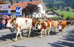 CHARMEY, SWITZERLAND - SEPTEMBER 29, 2018: cows decorated with flowers walking on the street of Charmey at annual Desalpe festival royalty free stock photography