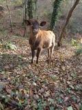 Charmig kalv i skogen Royaltyfri Fotografi