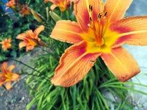 Charmig orange Daylily arkivbild