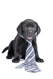 Charmig valp labrador i en slips royaltyfri fotografi
