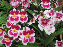 Charmiga vita orkidér med en modell i röda färger Royaltyfri Fotografi