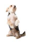 Charmigt hundsammanträde på dess bakre ben Royaltyfria Foton