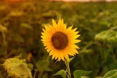 Charmigt landskap av solrossoluppgång Royaltyfri Bild