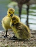 Charmin Baby-Enten Stockfotos