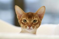 Charming Abyssinian kitten stock image