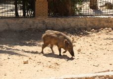 Young wild boar of the Sahara desert in a zoo royalty free stock photography