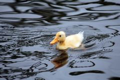 Close-up of yellow fluffy baby duckling swimming stock image
