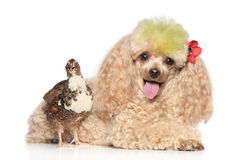 Charming apricot poodle with bird royalty free stock photography