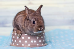 Charming baby rabbit sittin in bowl. Cute little baby rabbit trying ti fit in a small bowl Royalty Free Stock Images