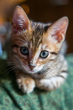 Charming bengal cat Royalty Free Stock Photos