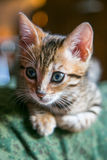 Charming bengal cat Stock Photography