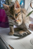 Charming bengal cat Stock Images
