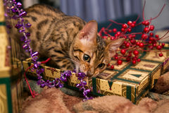 Charming bengal christmas cat Stock Photo