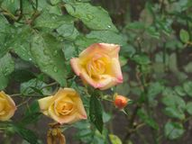 Charming Bicolor rose. Charming Bicolor rose with rain water Royalty Free Stock Image