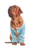 Charming big dog wearing blue jacket Stock Photos