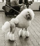 Charming big white poodle with beautiful trendy haircut at dog show royalty free stock photo