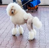 Charming big white poodle with beautiful trendy haircut at dog show royalty free stock photography