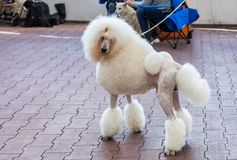 Charming big white poodle with beautiful trendy haircut at dog show royalty free stock photos
