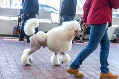 Charming big white poodle with beautiful trendy haircut at dog show stock images