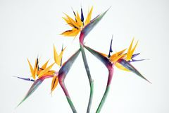 Charming bird of paradise flower in the garden. Beautiful flowers symbolize a beautiful life, and the same that a beautiful life is inseparable from beautiful royalty free stock image