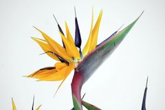 Charming bird of paradise flower in the garden. Beautiful flowers symbolize a beautiful life, and the same that a beautiful life is inseparable from beautiful stock image