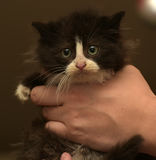 Charming black and white fluffy kitten Royalty Free Stock Photo