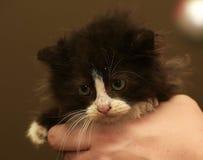 Charming black and white fluffy kitten Stock Images