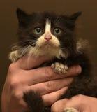 Charming black and white fluffy kitten Stock Photos