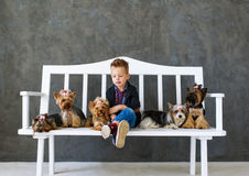 The charming blond boy sits on a white bench in an environment of five little Yorkshire terriers stock images