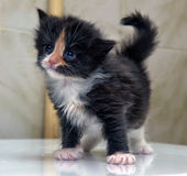 Charming  blue-eyed kitten Royalty Free Stock Photos