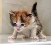 Charming blue-eyed kitten stock photo
