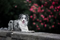 Charming border collie lying on a stone plate against the backdrop of a blossoming tree royalty free stock photos
