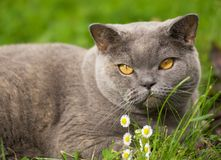 Charming british cat lying on. A green grass Royalty Free Stock Photo