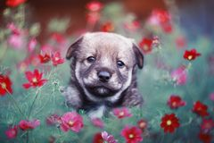 brown puppy Peeps out from behind pink flowers daisies in a Sunny summer garden