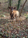Charming calf in the forest. Charming calf in a forest glade among the fallen leaves Royalty Free Stock Photography