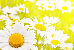 Charming Camomile Stock Photography
